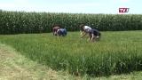 Reisanbau am Braunauer Bauernhof