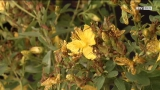 Das Johanniskraut - Sonnenkraut & Heilpflanze