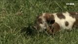 Neuseeländische Langhaarschweine in Timelkam