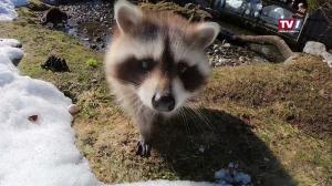 Wildtierfütterung - Tierpfleger als Haubenköche