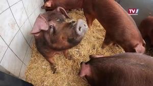Das Hausschwein hat Konkurrenz bekommen.