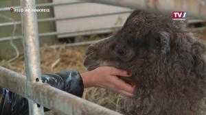 Kamel-Baby in Ried geboren