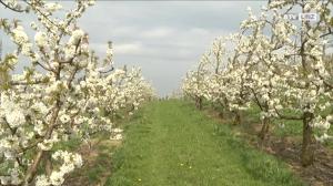 Kirschblüte in der Scharten – ein Naturschauspiel!