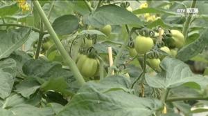Gartentipp - Tomaten