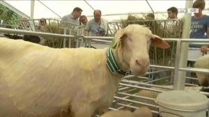 Määhhh - beim 1. Waizenkirchner Schaf- und Ziegenfest