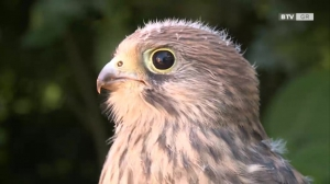 Junger Falke - klein aber oho!