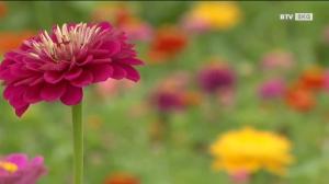Sommerblumen im Dreiklang der Gärten