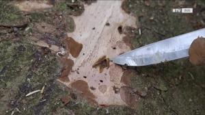 Einer der größten Feinde des Waldes - der Borkenkäfer