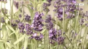 Der Lavendel - Eine wertvolle Heilpflanze
