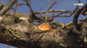 Obstbaum-Schnitt - richtig gemacht
