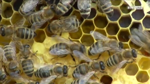 Wussten Sie schon von den Linzer Bienen?